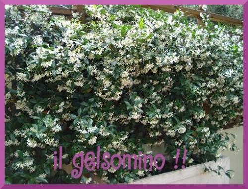 GELSOMINO.JPG